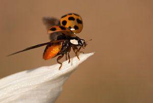 Opvliegend lieveheersbeestje van