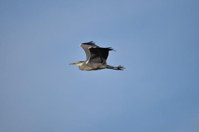 Reiger vliegend blauwe lucht van Sascha van Dam