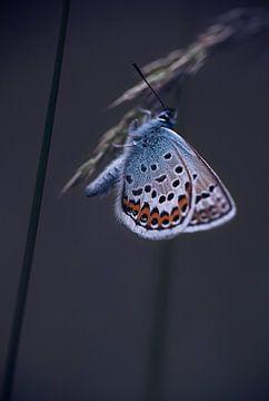 blue butterfly van Birgitta Tuithof
