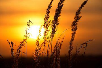 Sonnenuntergang hinter dem Kornfeld