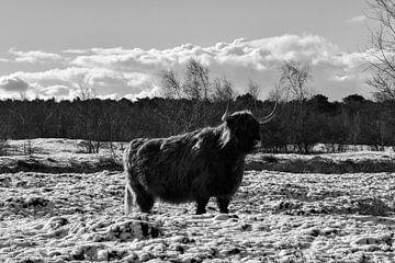 Schottischer Highlander im Naturschutzgebiet von bart hartman