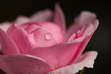 Roze roos van J..M de Jong-Jansen