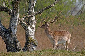 daim près d'un arbre sur Petra Vastenburg