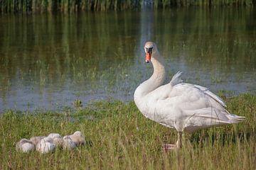 zwaan met haar jongen