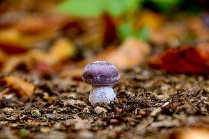 Little Mushroom van