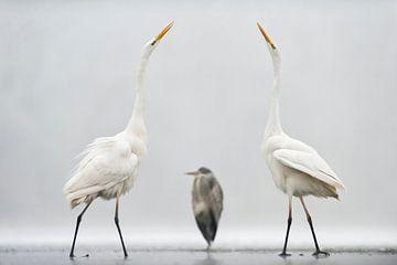 Zwei große Reiher in einem mexikanischen Abstand von AGAMI Photo Agency