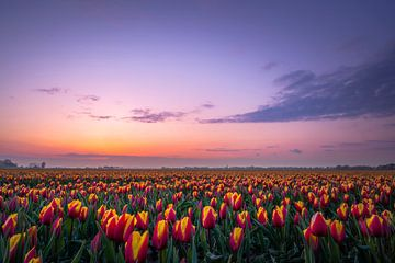 Nederlandse Tulpen van Alvin Aarnoutse