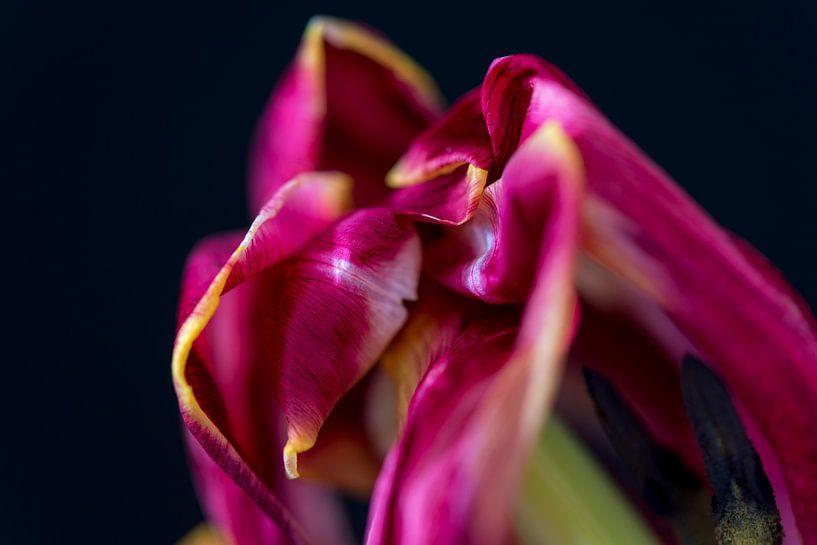 Tulp sur Maerten Prins