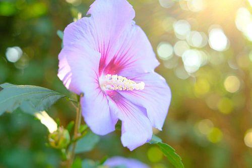 Roze Hibiscus bloem in de zomer   Natuurfotografie