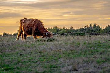 Schotse Hooglander, Heide Blaricum van