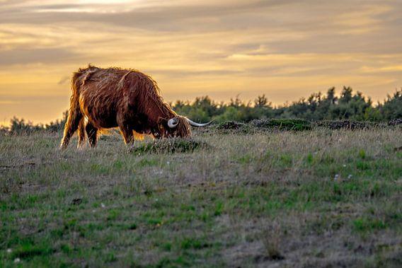 Schotse Hooglander, Heide Blaricum