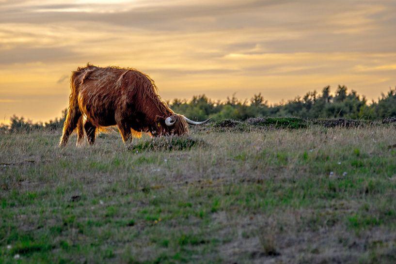 Schotse Hooglander, Heide Blaricum van Barend de Ronde
