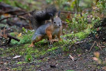 Eichhörnchen auf dem Vormarsch von Merijn Loch