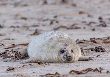 Jong van een Grijze zeehond, Helgoland Duistland van Sven Scraeyen