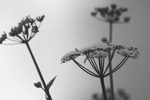 7Kraut schwarz und weiß