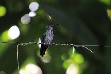 Groene kolibrie. Mindo, Ecuador van