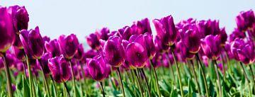 Tulpen panorama van