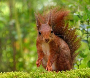 Schau mich an..... (Eichhörnchen) von Caroline Lichthart