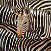 Modern Portret Van Gestreepte Zebra van Diana van Tankeren thumbnail