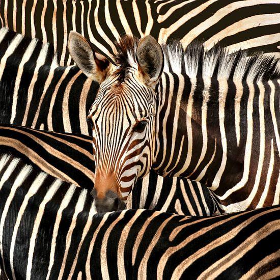 Modern Portret Van Gestreepte Zebra