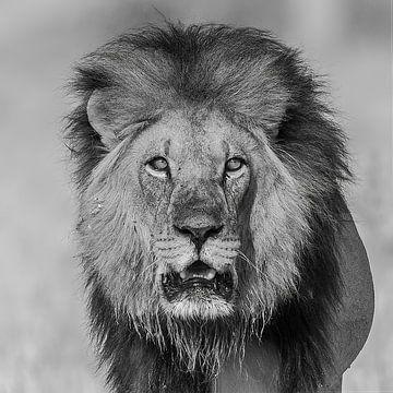 Auge in Auge mit dem afrikanischen Löwen von Michael Kuijl