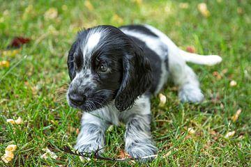 Engelse Cocker Spaniel pup - blauwschimmel
