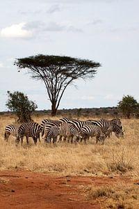 Zebra's van Robbert Strengholt