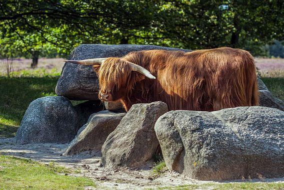 Schotse Hooglander bewaakt hunebed