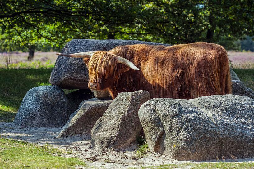 Schotse Hooglander bewaakt hunebed van Andre Brasse Photography