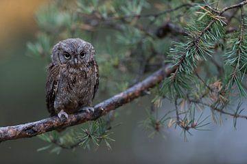 Otus schept op de tak van een dennenboom na een regenbui, grappige kleine uil, Europa. van wunderbare Erde
