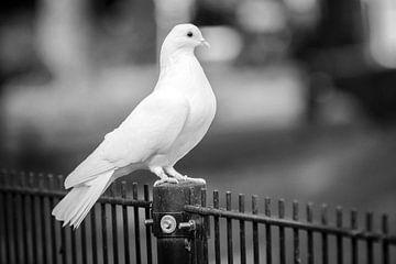 Witte duif van Lonneke Prins