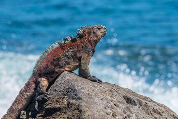 Volwassen Zeeleguaan Galapagos eilanden von Lex van Doorn
