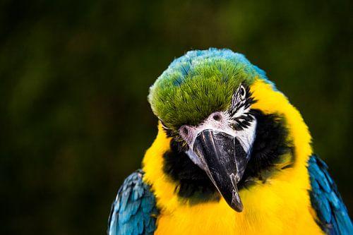 Papegaai of blauw gele ara.