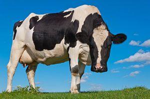 Zwartbonte koe kijkt nieuwsgierig van