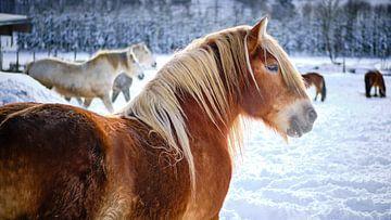 Pferde im Schnee von Björn Jeurgens