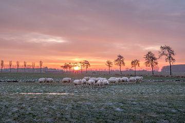 schapen bij het krieken van de dag van Moetwil en van Dijk - Fotografie
