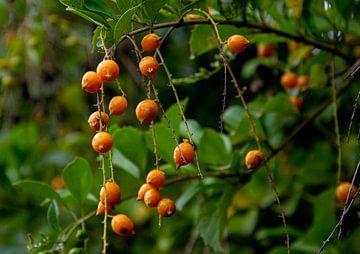 Orangenbeeren am Zweig in Costa Rica von Bianca ter Riet