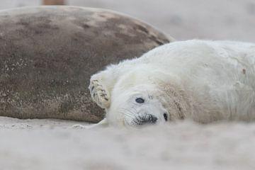 puppy zeehond rekt zich uit van Desirée Couwenberg