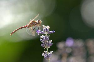 Libelle in zomerzon van Marvin Van Haasen