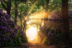 Rhododendrons in een bos met zonnestralen van