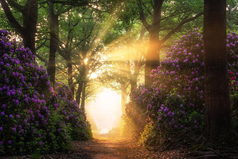 Rhododendrons in een bos met zonnestralen van Martin Podt