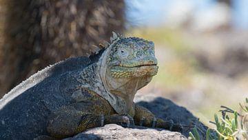 Galapagos landleguaan zoekt de schaduw op van Ricardo de Groot