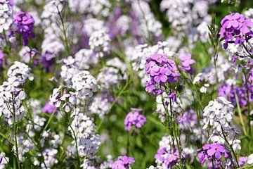 Weiße und lila Nachtviolen auf einer Blumenwiese von Ulrike Leone