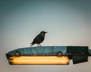Spreeuw op lantaarnpaal in Nederland van Maarten Oerlemans