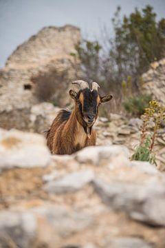 La chèvre 1
