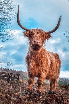 Schotse hooglander Cora stoer afgebeeld van Miranda Heemskerk