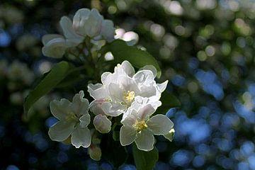 Apfelblütentraum von Renate Dohr