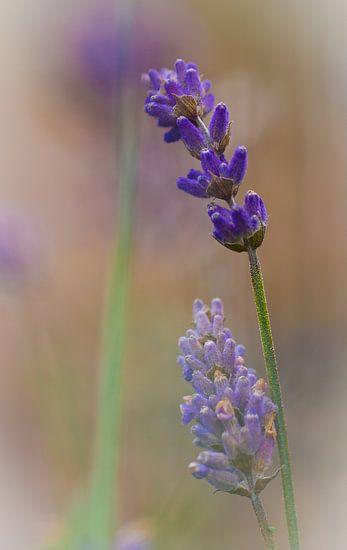 Lavendel van Lily Ploeg