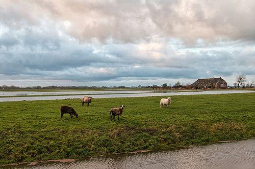 Schapen op het platteland van Groningen