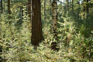 Bos met tegenlicht